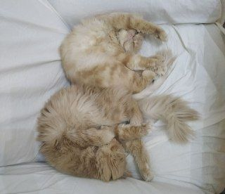 Two cats for sale, Persians of a unique flowering! Call us Urgently! B